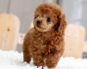 Toy Poodle And Toy Pomeranian Puppies North Eastern